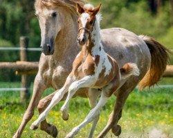 horse MANGO DE FINCA BARROCO (Pinto, 2020)