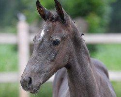 foal Cascas d' Oxerhoeve Z (Zangersheide riding horse, 2021, from Casall Ask)