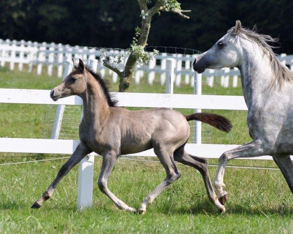 horse Camar Qougar (Trakehner, 2021, from Kaiser Wilhelm)