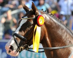 dressage horse Benicio (Hanoverian, 2005, from Belissimo NRW)