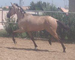 horse GULOSO (Lusitano, 2019)