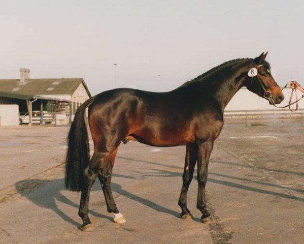 horse Acobat II (Holsteiner, 1990, from Athlet Z)