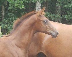 foal Ballantines (German Sport Horse, 2021, from Bon Courage 4)