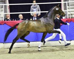 horse Blue Hors Zackerey (Danish Warmblood, 2014, from Zack)