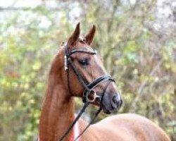 dressage horse Borsalino (Westphalian, 2012, from Boston)