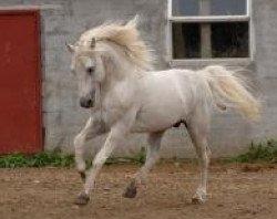 horse I Love You Melody (Connemara Pony, 1996, from Idenoir)