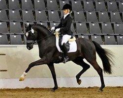 dressage horse Scuderia (Oldenburg, 2008, from Sir Donnerhall I)