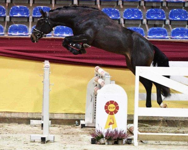 horse Cornato MW (German Sport Horse, 2018, from Cornet Obolensky)