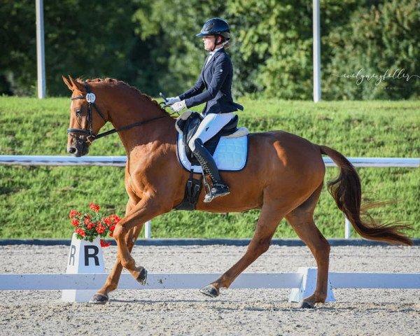 dressage horse Banty du Hans (Oldenburg, 2014, from Black Ruby)
