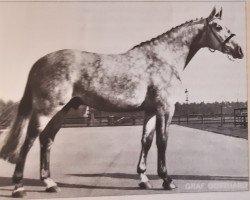 horse Graf Gotthard Z (Hanoverian, 1971, from Gotthard)
