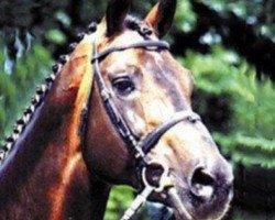 horse Lysander (Holsteiner, 1979, from Landgraf I)