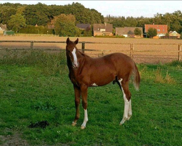 horse Bayou (Hanoverian, 2020, from Balou du Rouet)