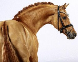 dressage horse Dimension AT (German Riding Pony, 2008, from Donchester)