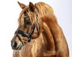 horse Dressman (German Riding Pony, 1988, from Domingo)