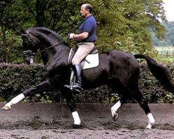 horse Pik Bube I (Hanoverian, 1973, from Pik Koenig)