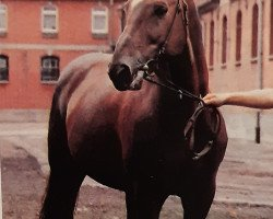 horse Woermann (Hanoverian, 1971, from Woehler)