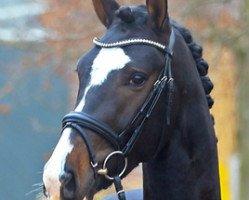 dressage horse St. Patrick (Hanoverian, 2015, from Sezuan)