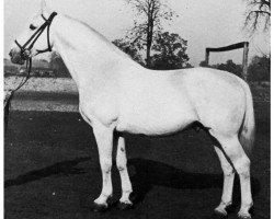 horse Mahdi I (Holsteiner, 1934, from Makler I)