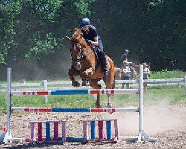 jumper Goldfire 21 (German Sport Horse, 2005, from Goldwing)