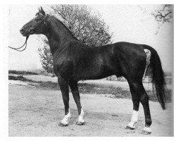 dressage horse Argus (Hanoverian, 1964, from Abdulla 4026)