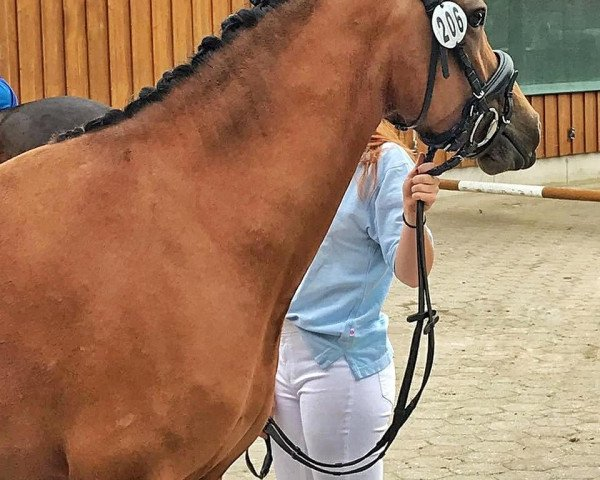 dressage horse CTS Faible (German Riding Pony, 2016, from Don Mour)