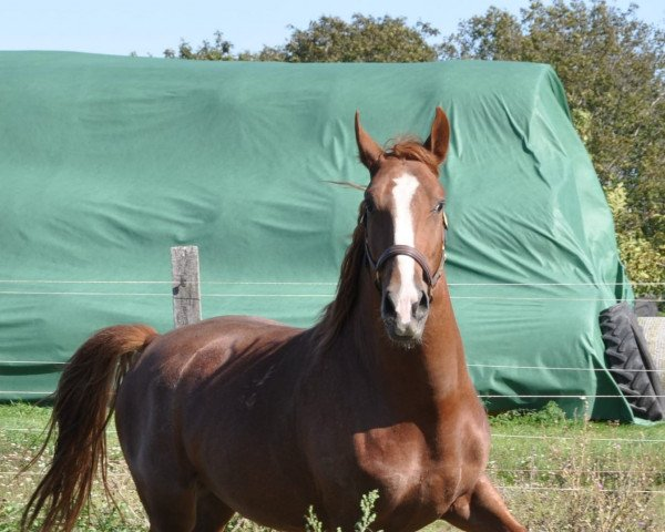 horse Maestoso Mintas (Lipizzaner, 2016)