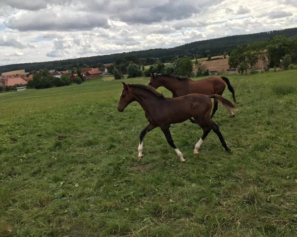 horse Cain W. (German Sport Horse, 2021, from Chrysanthus)