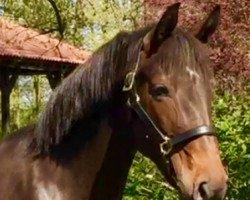 horse Stakkata ZD (Hanoverian, 2011, from Stakkato)