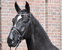 dressage horse Daytona (Hanoverian, 2014, from De Niro)