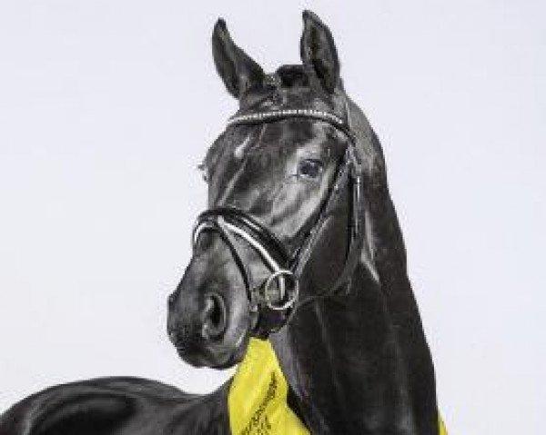 dressage horse Dark Dornik (German Riding Pony, 2012, from Dornik B)
