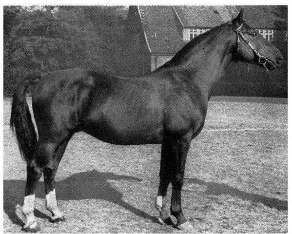 horse Dwinger (Hanoverian, 1938, from Detektiv)