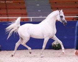 horse Arian Shah ox (Arabian thoroughbred, 2007, from Jonathan El Ludjin ox)
