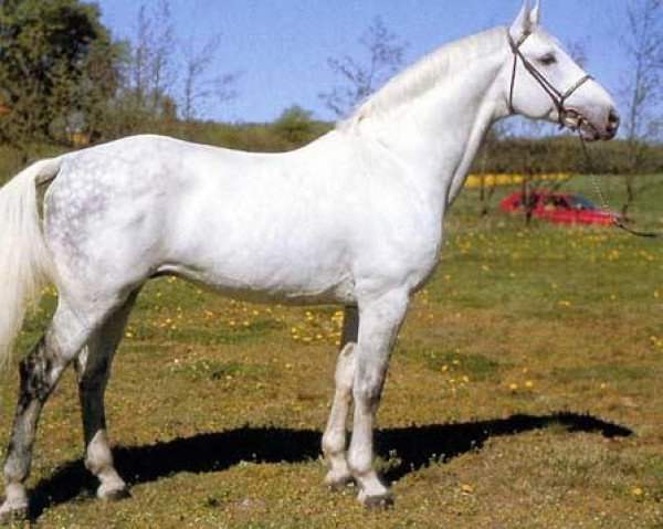 horse Cantus (Holsteiner, 1981, from Caletto I)