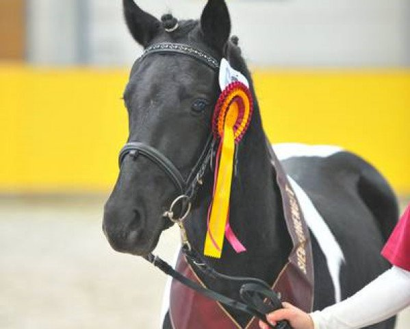 horse Oskar-H (Lewitzer, 2012, from Ohaio)