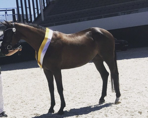dressage horse All WE Need (Rhinelander, 2014, from All At Once)