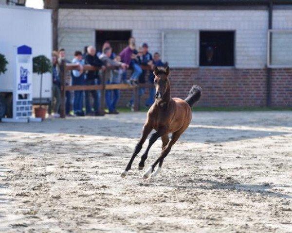 horse C.. (Westphalian, 2019, from Cornet Obolensky)