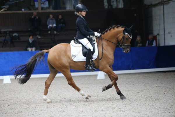 dressage horse Dear Principal (German Riding Pony, 2014, from Dimension AT)