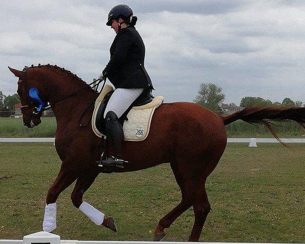 dressage horse Mr. Big 10 (German Warmblood, 2013, from Black Ruby)