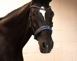 dressage horse Felicitas (Hessian Warmblood, 2002, from Flammengold)