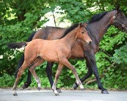 horse Diana (Westphalian, 2009, from Diarado)