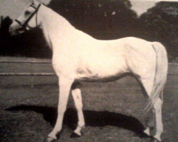 horse Basa (Shagya Arabian, 1931, from Shagya IX-7)
