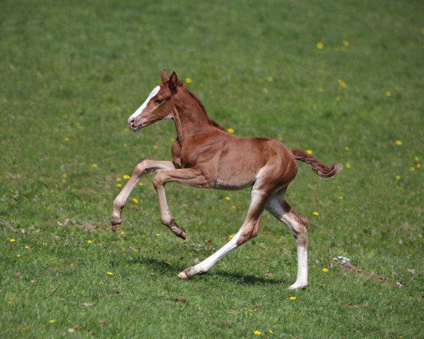 horse Bamika (Hanoverian, 2021, from Benicio)