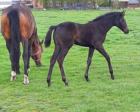 horse Raya (Hanoverian, 2021, from Rock Springs)