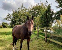 horse Diva Dante (Oldenburg, 2013, from Dante Weltino OLD)