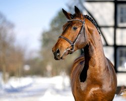 jumper Chellci Orange L (Zangersheide riding horse, 2017, from Cicero Z van Paemel)