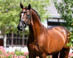 dressage horse Don Frederic 3 (Hanoverian, 2009, from Don Frederico)