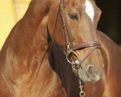 horse Ahorn Z (Hanoverian, 1979, from Almé Z)