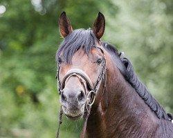 dressage horse Franziskus 15 (Hanoverian, 2008, from Fidertanz)