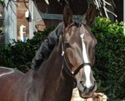 dressage horse Quadriga 46 (Hanoverian, 2015, from Quantensprung)