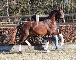 dressage horse Viva Gold 3 (Oldenburg, 2016, from Vivaldi)